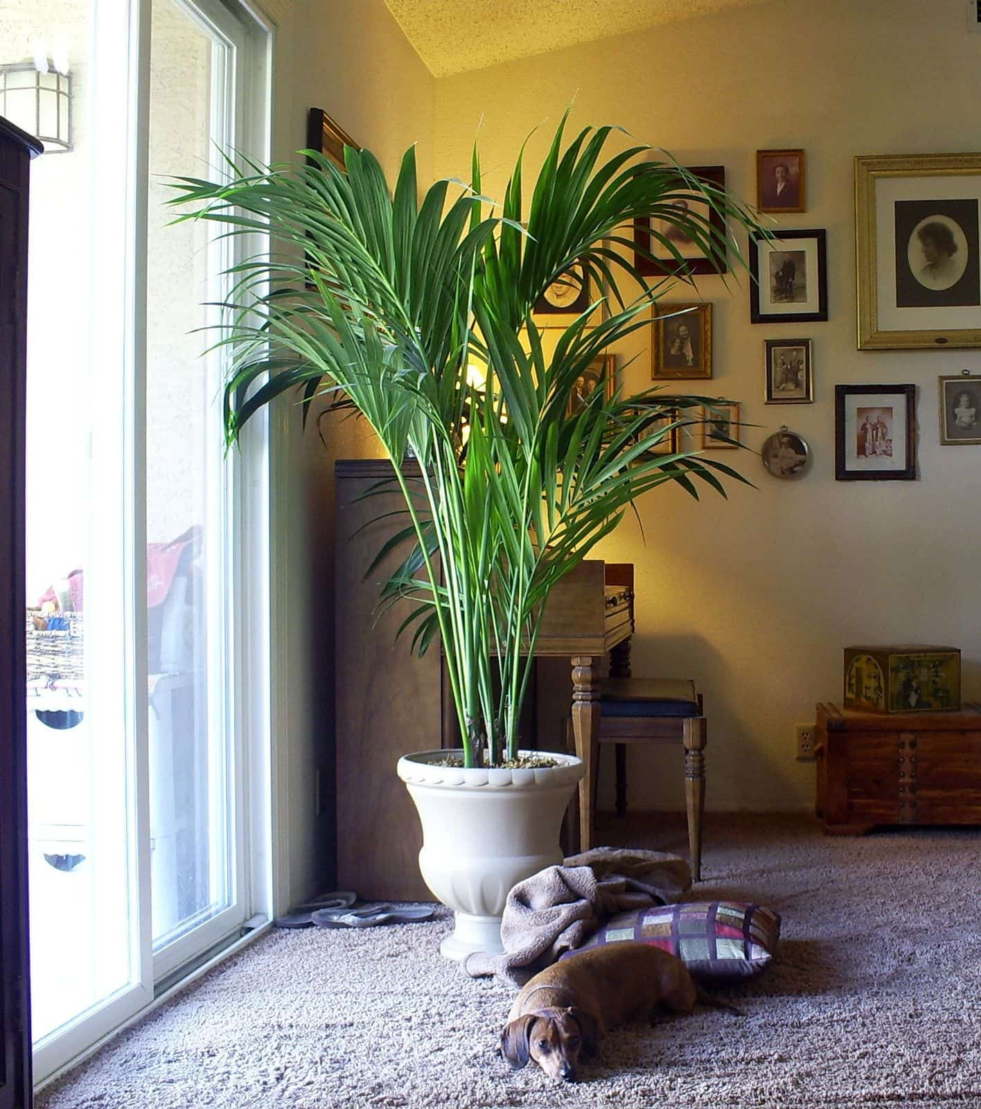 8 Best Large House Plants to Use for Décor. Family room with kentia palm