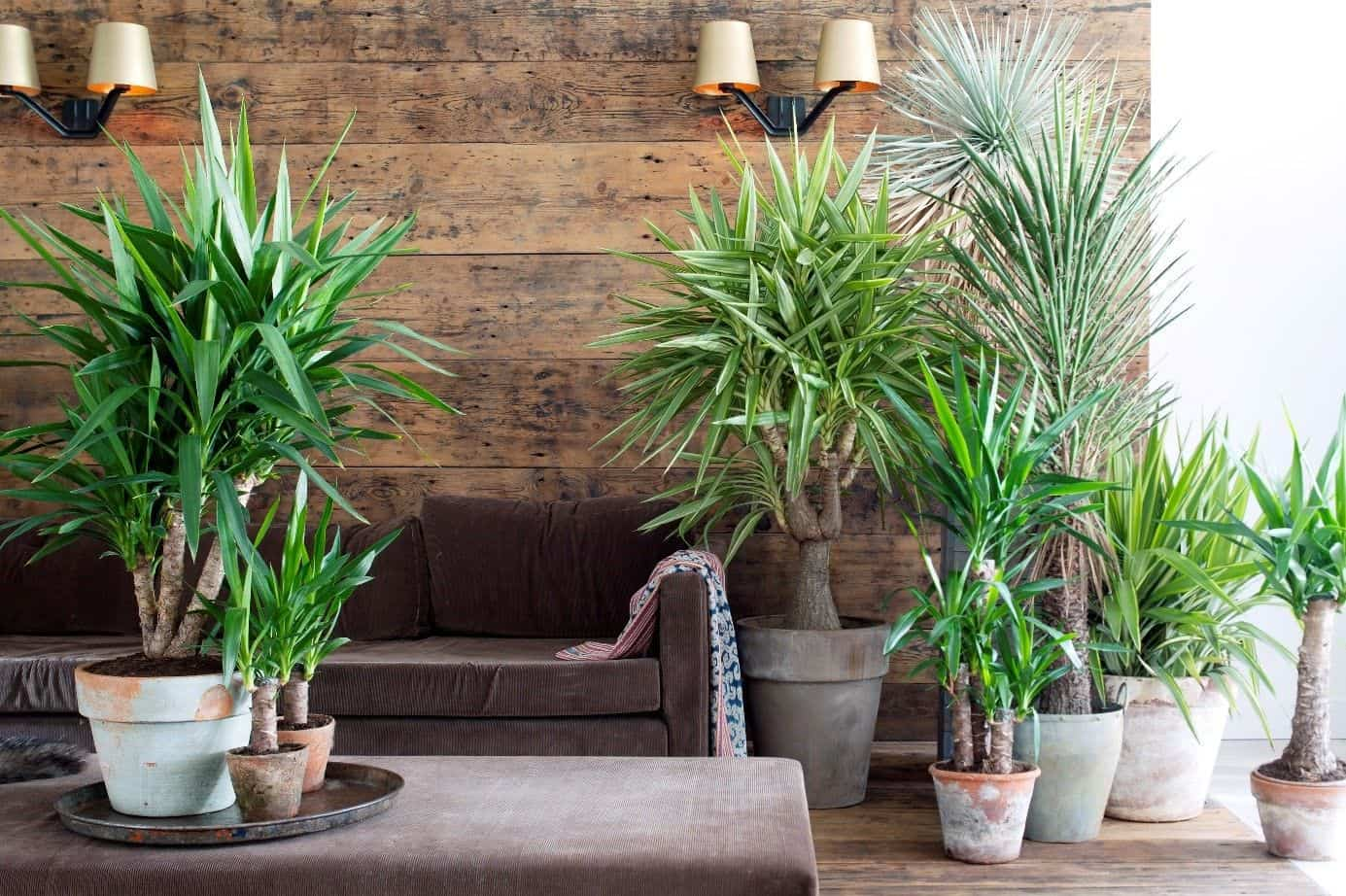 8 Best Large House Plants to Use for Décor. Yucca plants in the contemporary styled interior with wooden trimmed wall