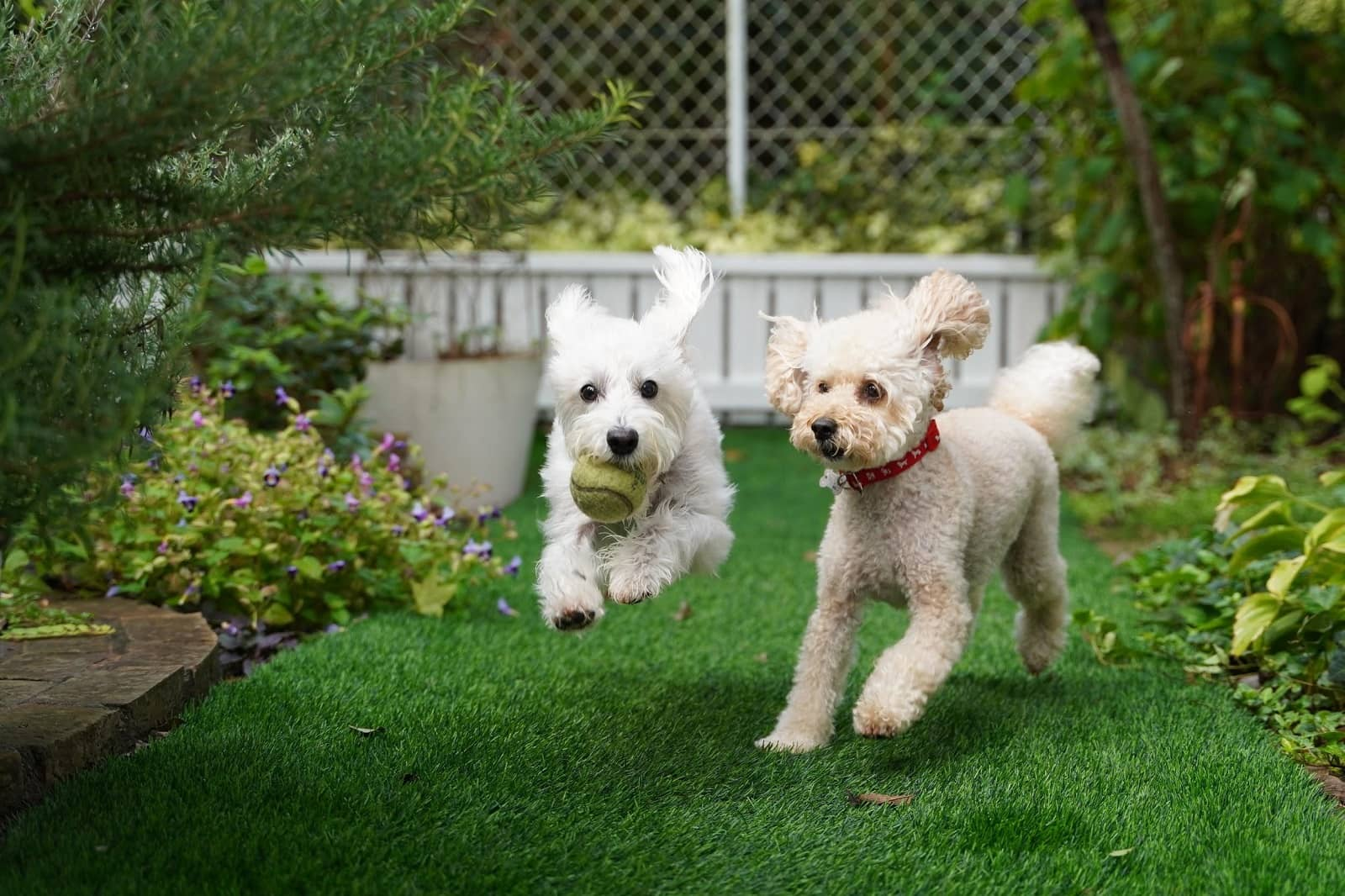 Landscaping for Pets: How to Make a Pet-Friendly Yard. Two poodles playing with tennis ball