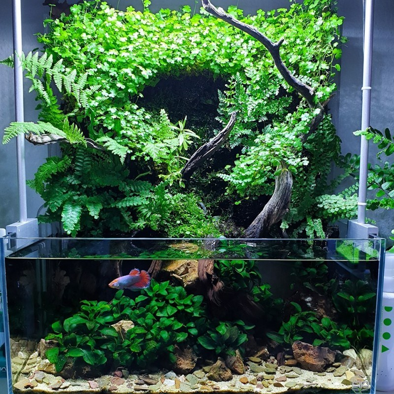 Aquarium Decoration by Creating Picturesque Underwater Landscapes. Large aquatic plant which is out of the water level