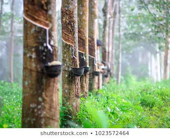 What To Look For If You Want To Buy Green. Latex extraction from Brazilian Hevea trees