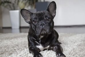Tips for Living with a Dog in a Small Apartment. Black French bulldog at a fluffy rug