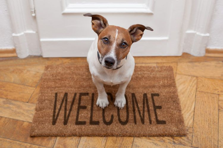 Tips for Living with a Dog in a Small Apartment. Jack Russell terrier at the entrance