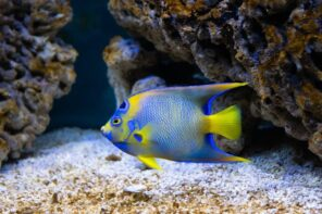 Maintain A Clean And Healthy Tank With These 6 Tips. Freshwater butterflyfish in the aquarium